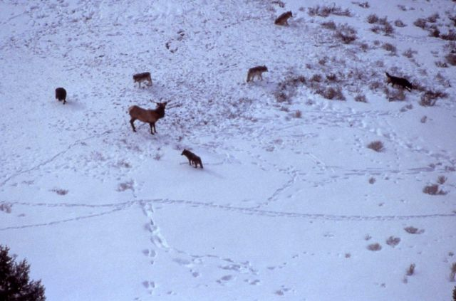 Aerial of the Chief Joseph wolf pack surrounding a bull elk Picture