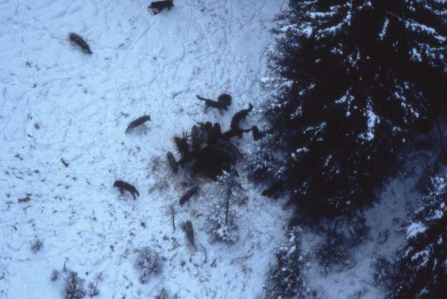 Aerial of the Druid wolf pack on bull elk carcass (elk had broken leg) Picture