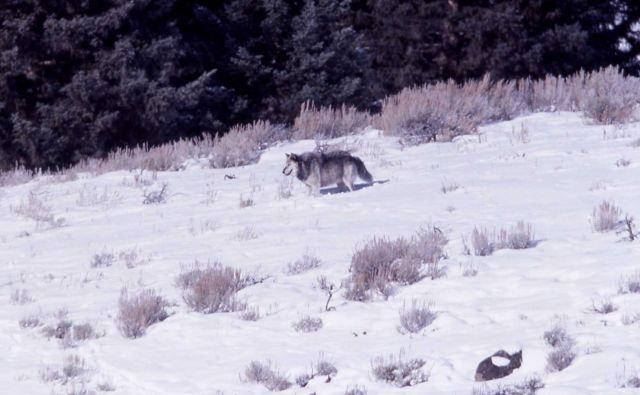 Druid alpha male wolf -21 - Soda Butte Picture