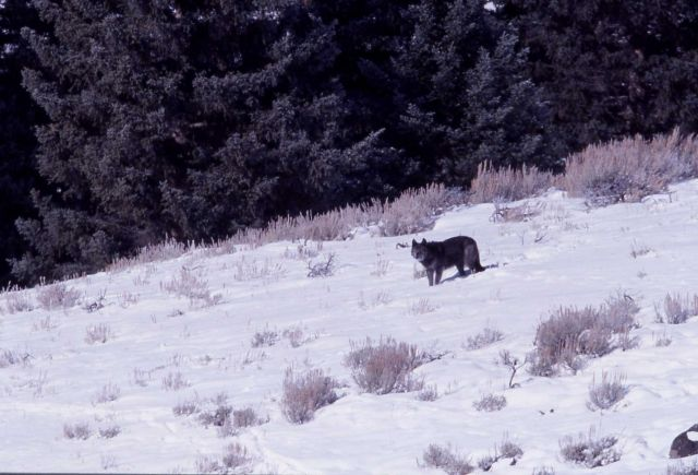Wolf from the Druid pack - Soda Butte Picture