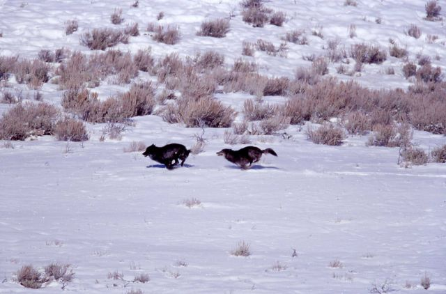 Two wolves from the Druid pack - one chasing the other - Soda Butte Picture