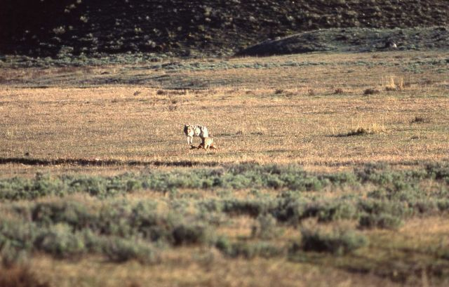 Wolf & coyote near carcass at Tower Junction Picture