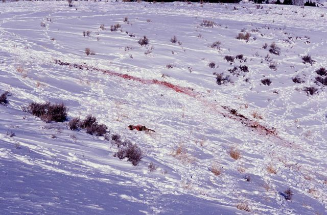 Elk calf carcass killed by wolves on Capitol Hill at Mammoth Hot Springs Picture