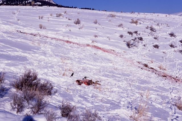 Magpies on elk calf carcass killed by wolves on Capitol Hill at Mammoth Hot Springs Picture