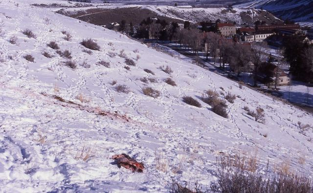 Elk calf carcass killed by wolves on Capitol Hill in Mammoth Hot Spring with the Administration buildings in the background Picture