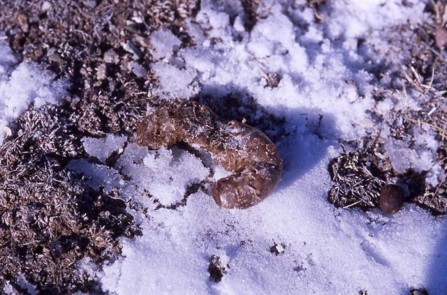 Wolf scat on Capitol Hill in Mammoth Hot Springs Picture