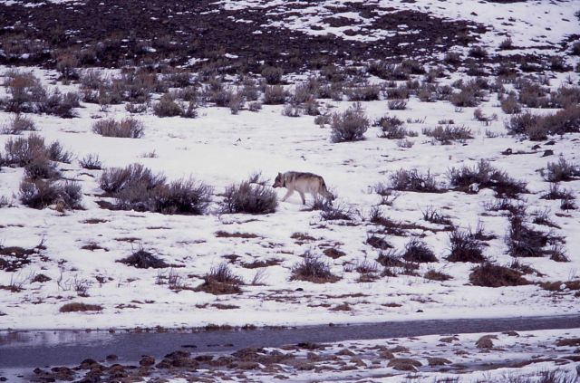 Wolf at Blacktail Lakes Picture