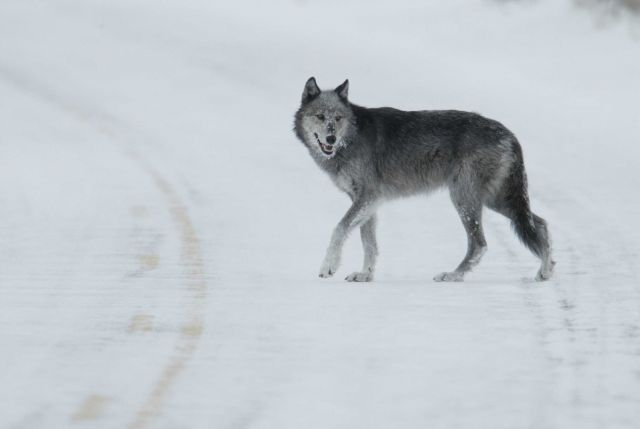 Black & grey female wolf from the Druid pack in road near Lamar River bridge - named