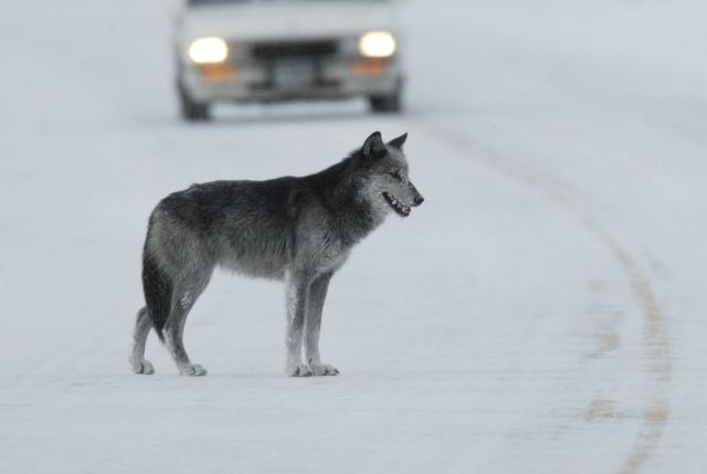 Black & grey female wolf in road near Lamar River bridge - named