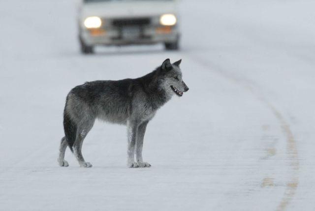 Black & grey female wolf in road near Lamar River bridge - named