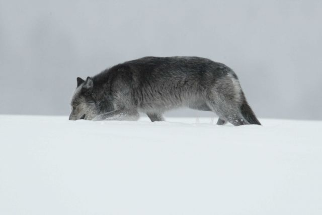 Black & grey female wolf in snow near Lamar River bridge - named