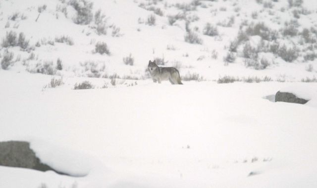 Profile of a grey wolf at Little America Flats Picture