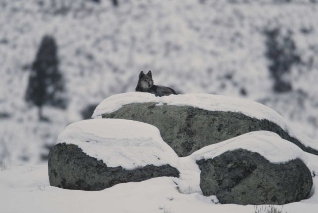 Wolf lying on glacial erratic at Little America Flats Picture