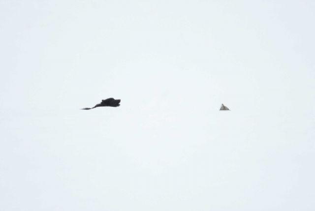 Male wolf -302 & uncollared female howling near Lamar River bridge Picture