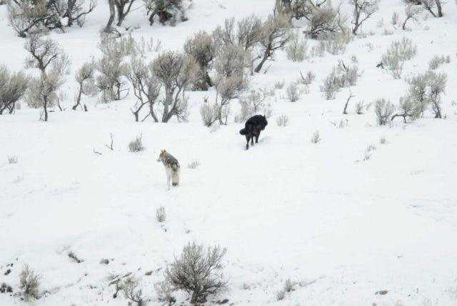 Male wolf -302 & uncollared female in the snow near Lamar River bridge Picture