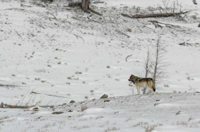 Wolf near Blacktail Pond Picture