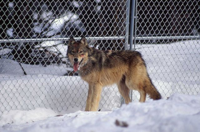 Wolf -7 in the Rose Creek pen Picture