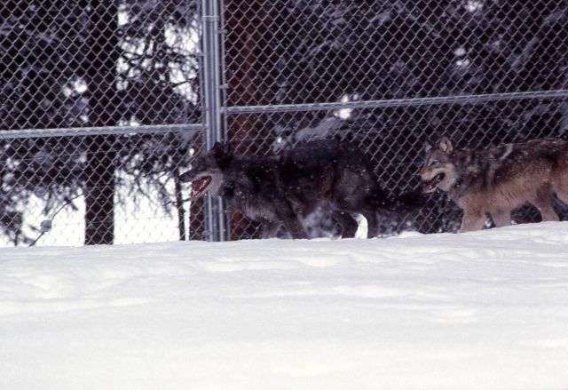 Wolf -7 & -9 in the Rose Creek pen Picture