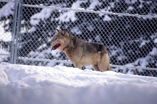 Wolf -10 in the Rose Creek pen Picture