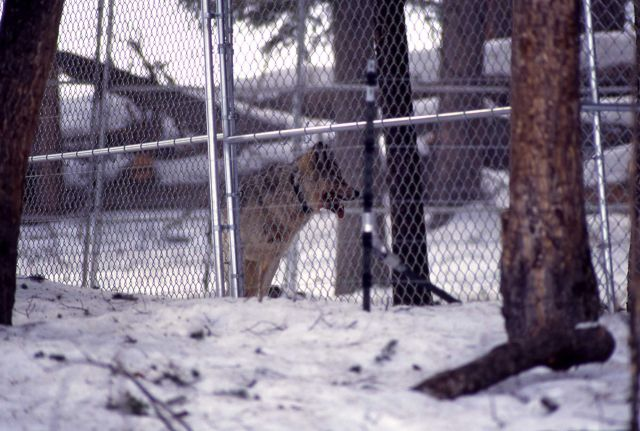 Wolf in the Soda Butte pen Picture