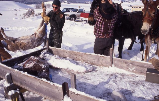 Loading deer carcass for wolves at Crystal Bench pen Picture