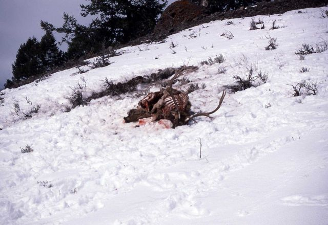 Bull elk killed by wolves Picture