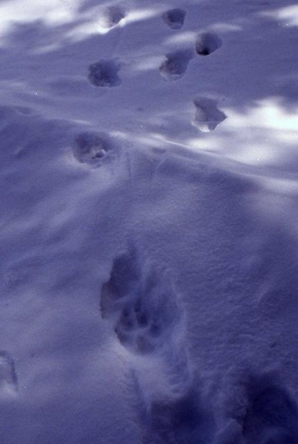 Wolf tracks in snow Picture