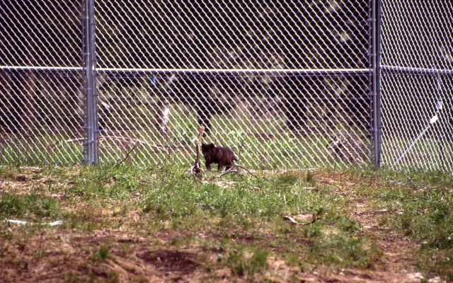 Wolf pup at Rose Creek pen Picture