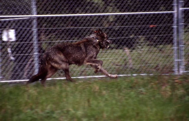 Wolf -9 at the Rose Creek pen Picture