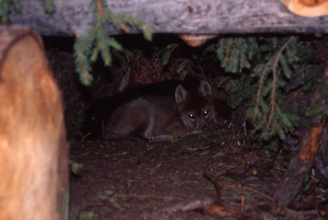 Wolf pup in den at Rose Creek pen Picture