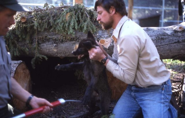 Mike Phillips & Mark Johnson vaccinating wolf pups at the Rose Creek pen Picture
