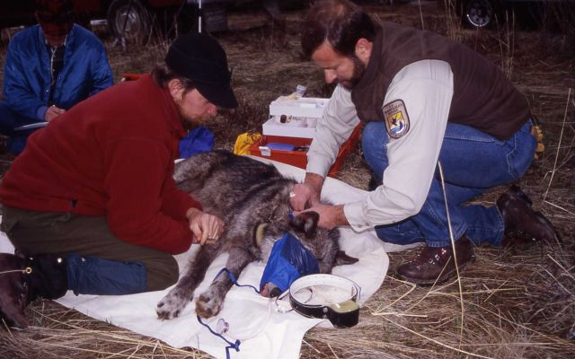 Mark Johnson & Joe Fontaine processing wolf -9 in Red Lodge, Montana Picture