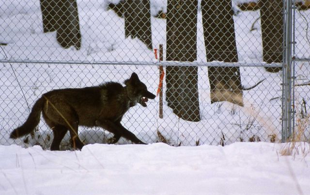 Wolf -33 in Crystal Creek pen Picture