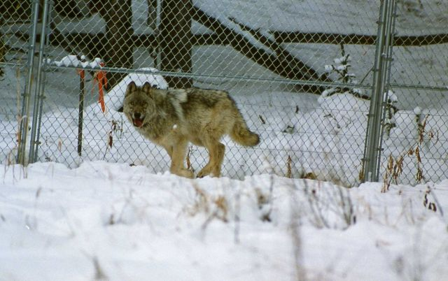 Wolf in Crystal Creek pen Picture