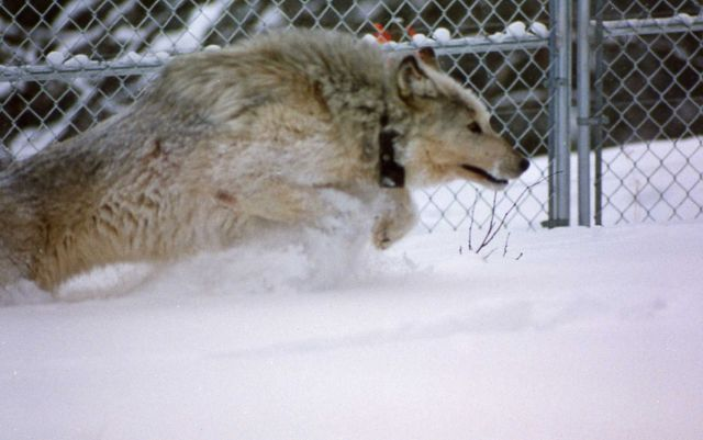Wolf in Rose Creek pen Picture
