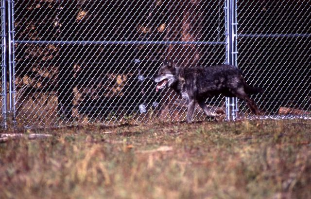 Wolf -9 in the Rose Creek pen Picture