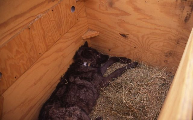 Processed Rose Creek wolf pup with collar in shelter box Picture