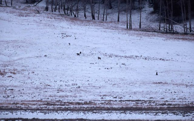 Crystal Creek wolf pack on an elk kill in Lamar Valley Picture