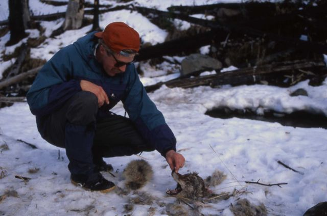 Rolf Peterson investigating coyote carcass killed by a wolf Picture