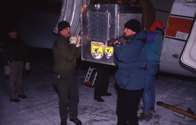 Unloading wolf shipping containers from plane at the Bozeman airport Picture