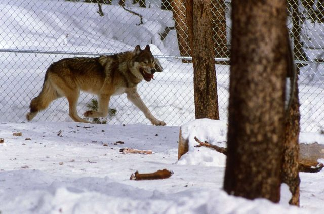 Wolf in Nez Perce pen Picture
