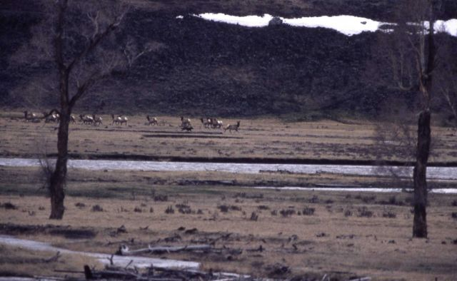 Wolf -6 chasing cow elk in Lamar Valley Picture
