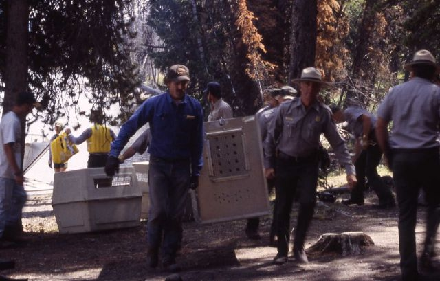 Carrying crates with Trail Creek wolves Picture
