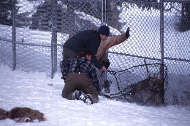 Amy Jacobs & Dan capturing sawtooth wolf pup at Rose pen Picture