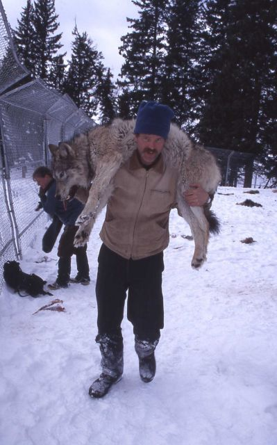 Doug Smith carrying wolf at Rose pen Picture