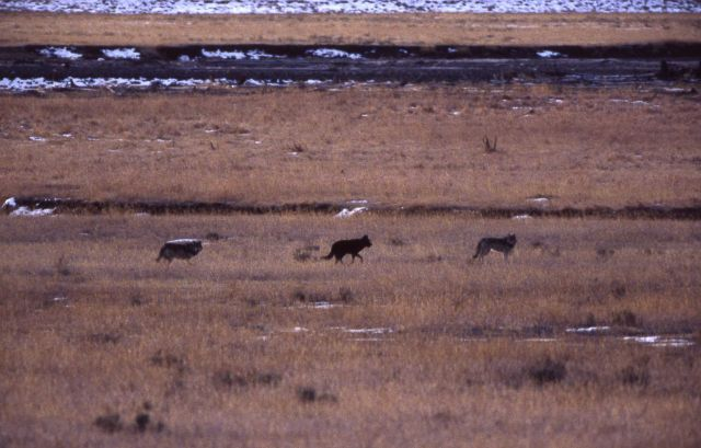 Druid wolf pack in Lamar Valley Picture