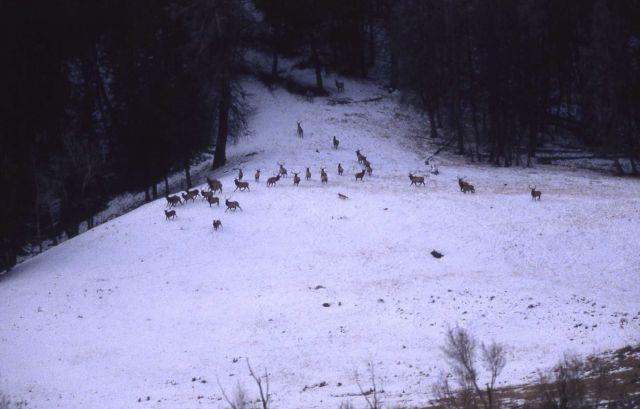 Druid wolf pack chasing elk in Lamar Valley Picture