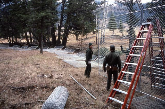 Building wolf enclosure at Soda Butte Pen Picture