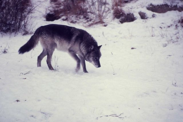 Wolf in snow Picture