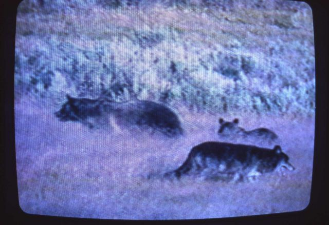 Wolf like animal next to grizzly bear sow & cub Picture